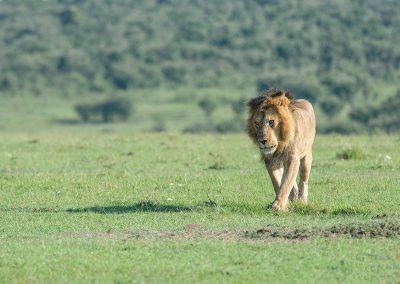 _DSC6271_lonely-lion