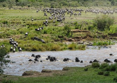 Mara crossing of wildebeest