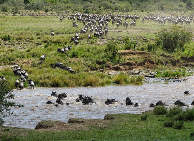 Wildebeest crossing the Mara