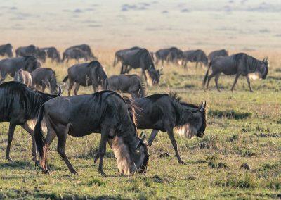 _DSC7256_Wildebeest-grazing