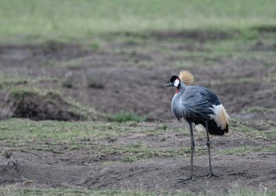 _DSC7634_Gray-crowned-crane