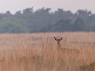 Red Deer at Veluwe