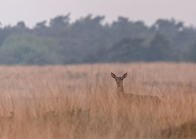 20130525_493_Red_Deer_Veluwe