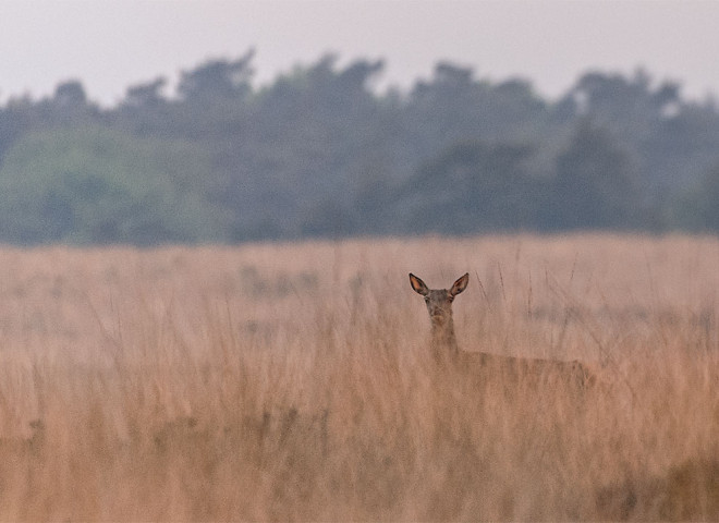 Red Deer at Veluwe