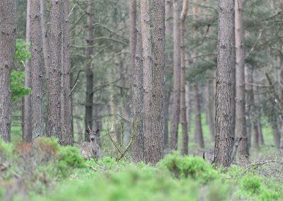 20130525_515_Fallow_Deer_Veluwe