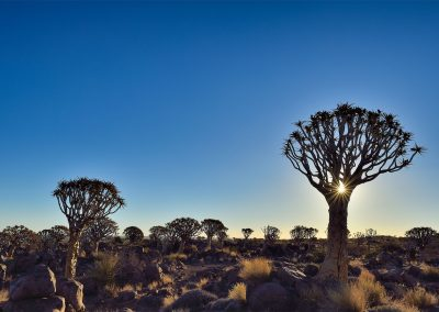 XSMP_20130928_Quivertree_forest