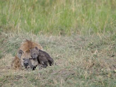 Hyena with cub climbing