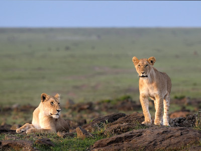 Two lions looking for food