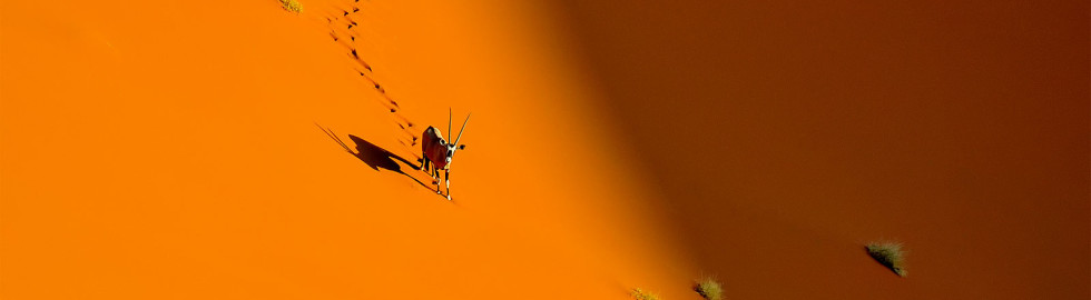 Oryx in red sand dunes