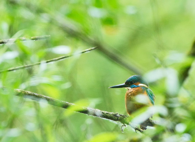 Common Kingfisher hidden in the bushes