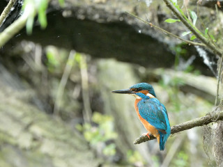 Common Kingfisher on the lookout