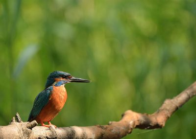 20140609_0448-Kingfisher3