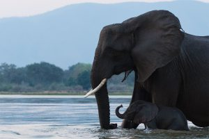 Elephant mother with calf crossing Zambezi