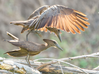 Mating hamerkop