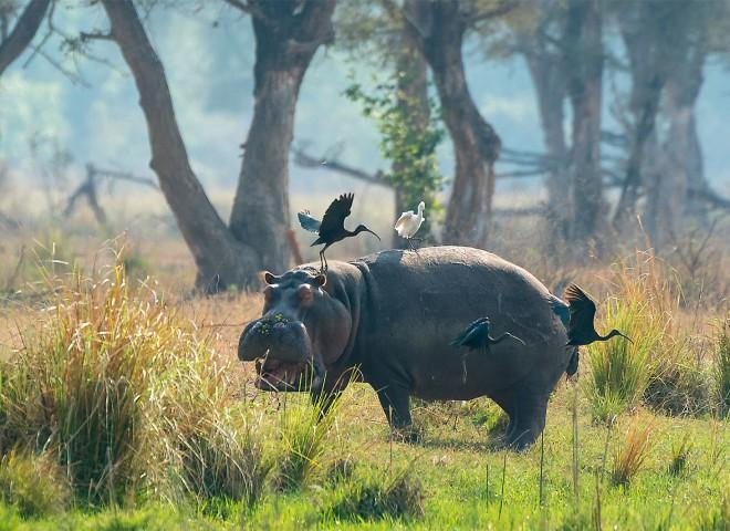 Hard work hippo