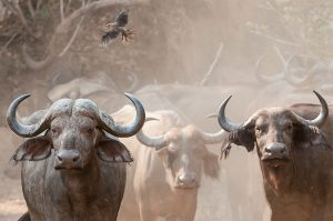Dusty African buffalo with oxpicker