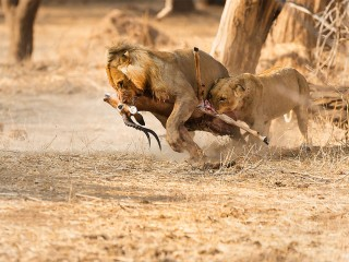 Lions snack