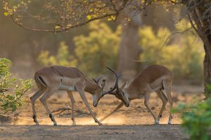 Game On! Fighting impala's