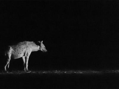 Black hyena