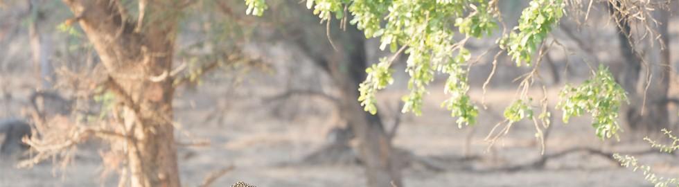 Leopard on the ridge
