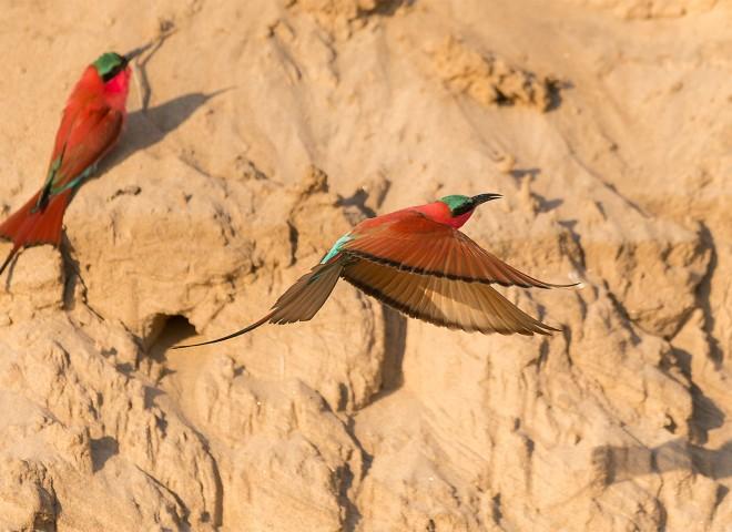 Carmine bee-eater flyby