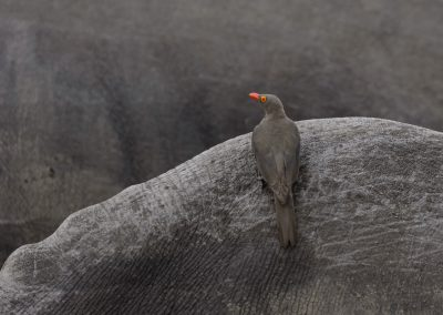 Red-billed Oxpecker, Sabi Sand, SA