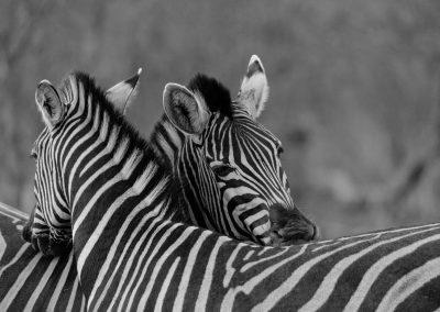 Zebra, Sabi Sand, SA