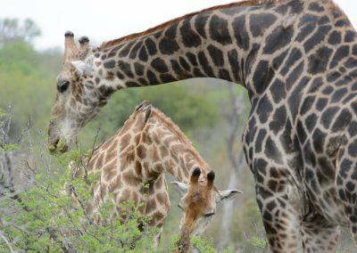 Giraffe, Sabi Sand, SA