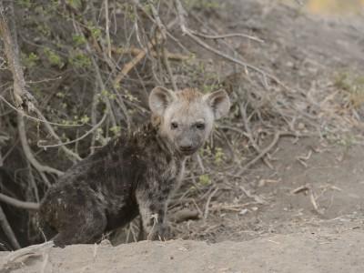 Hyena, Sabi Sand, SA