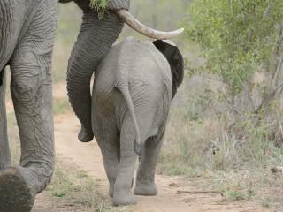 Elephant, Sabi Sand, SA
