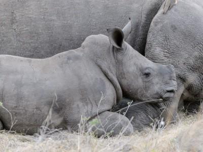 Rhino, Sabi Sand, SA