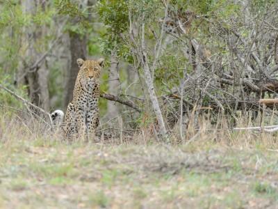 Leopard, Sabi Sand, SA