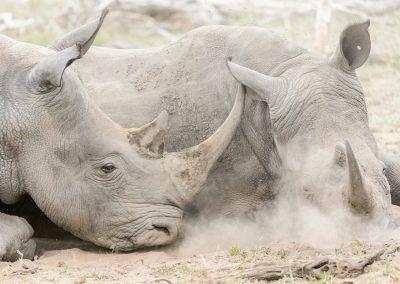 White Rhino, Sabi Sand, SA