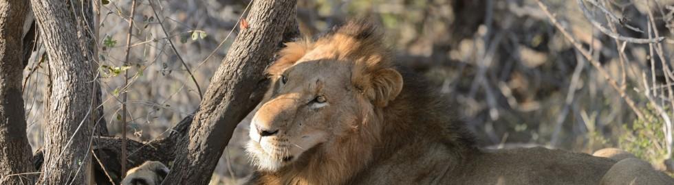 Lion, Kruger Wildtuin, SA