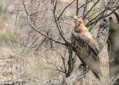Twany Eagle, Kruger Wildtuin, SA