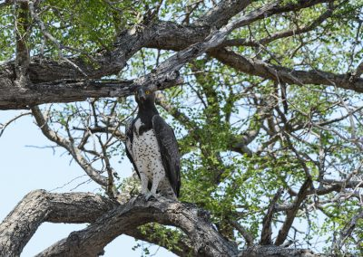 Martial Eagle, Kruger Wildtuin, SA