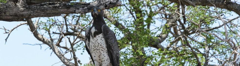 Martial Eagle, Kruger Wildtuin, SA