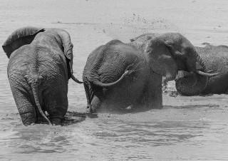 Elephant, Kruger Wildtuin, SA