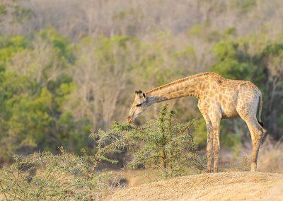 Giraffe, Mkhaya, SZ