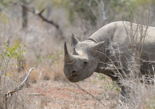 Black Rhino, Mkhaya, SA