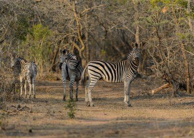 Zebra, Mkhaya, SZ