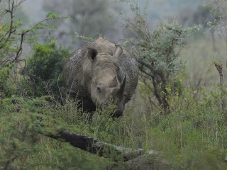 Rhino, Hluhluwe, SA