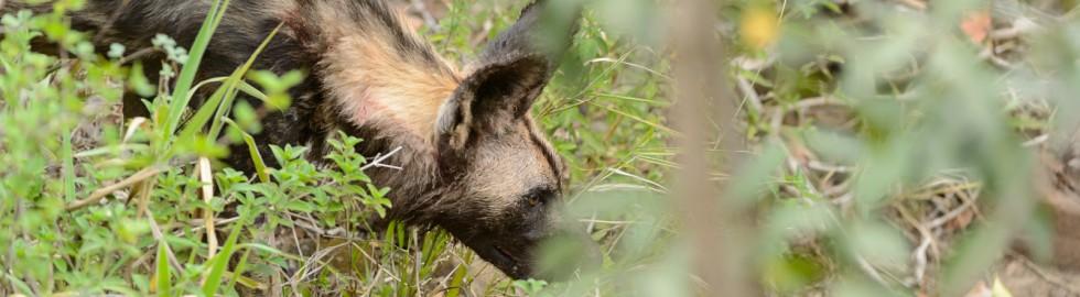 Wild Dog, Hluhluwe, SA