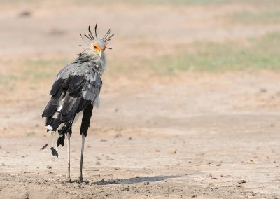 Secretary bird, Hluhluwe, SA