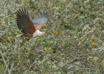 African Fish Eagle, iSimangaliso, SA