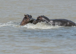 Hippo, iSimangaliso, SA