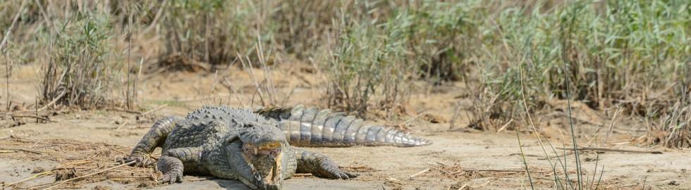 Crocodile, iSimangaliso, SA