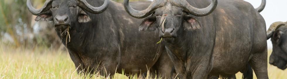 African Buffel, iSimangaliso, SA