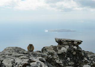 Rock dassy, Table mountain, Capetown, SA