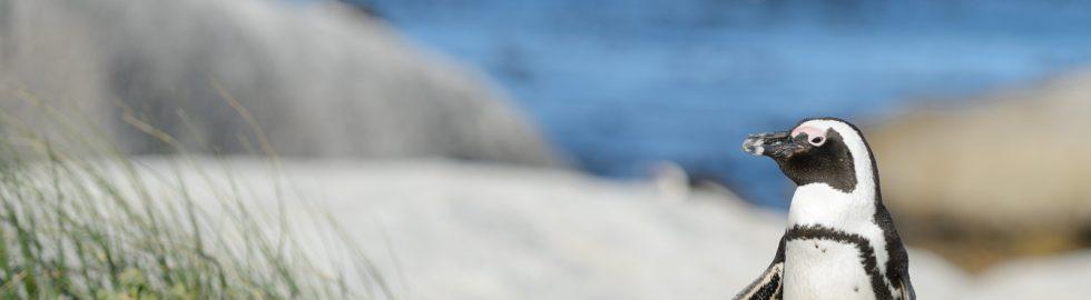 African penguin, Boulders Beach, SA